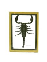 Скорпион в деревянной рамке (с-174)