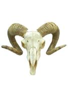 Рога барана (рг-24)